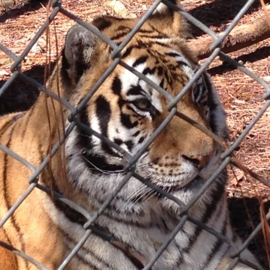 Brittany Brower's photo of Tour Carolina Tiger Rescue