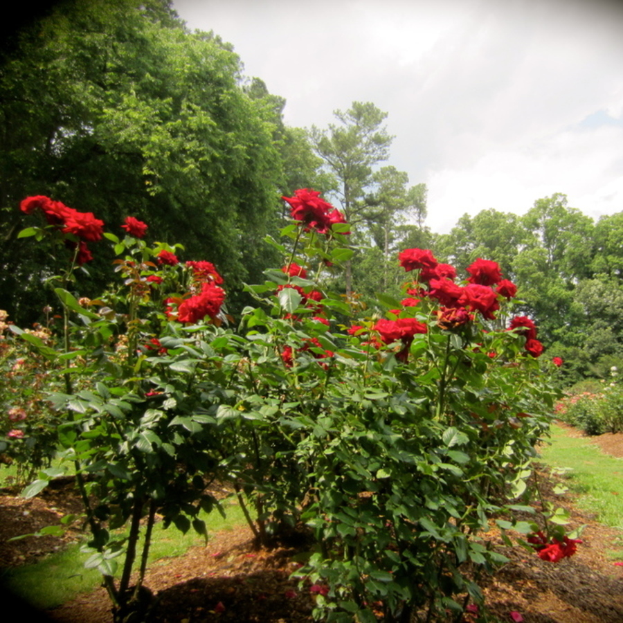 Brittany Brower's photo of Stop & Smell the Rose Garden