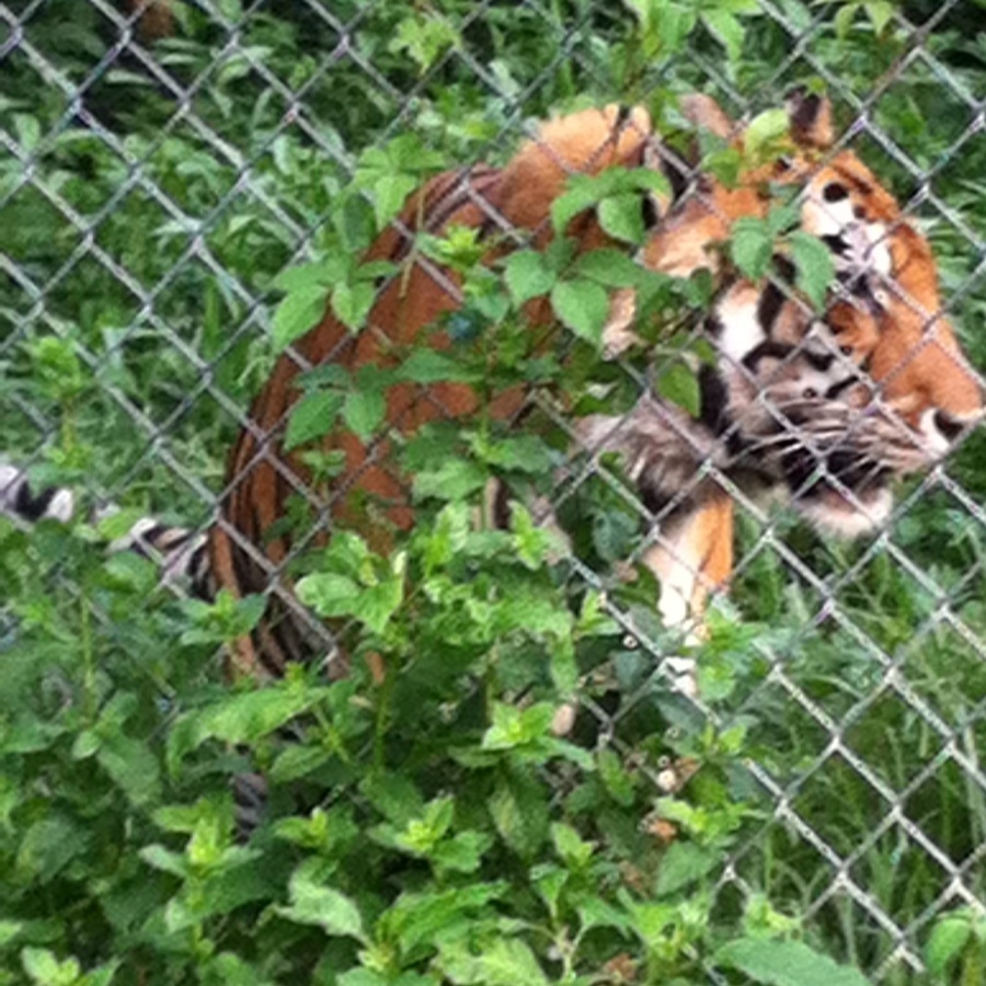 Alana Bossen's photo of Tour Carolina Tiger Rescue